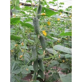 Бланка F1 семена огурца партенокарпического 500 семян Griffaton/Грифатон