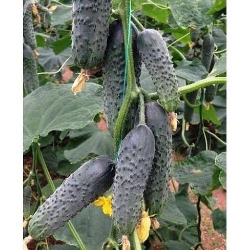 Лютояр F1 семена огурца партенокарпического Yuksel/Юксел