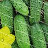 Крион F1 семена огурца пчелоопыляемого среднераннего Agri Saaten