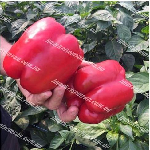 Драгони F1 семена перца сладкого тип Блочный раннего 500 семян Enza Zaden/Энза Заден