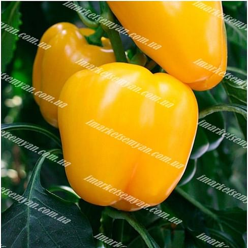 Кадия F1 семена перца сладкого тип Блочный раннего 500 семян Enza Zaden/Энза Заден