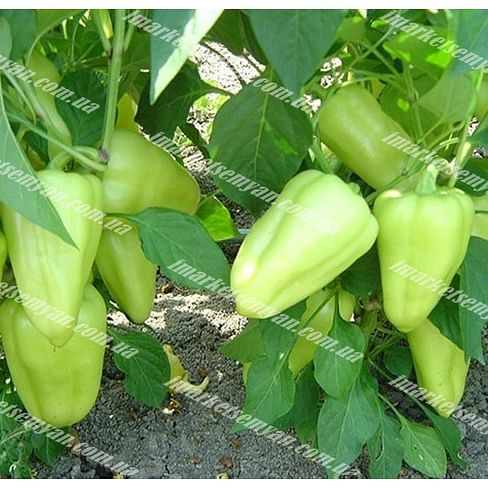 Лотта F1 семена перца сладкого тип Венгерский раннего 500 семян Enza Zaden/Энза Заден