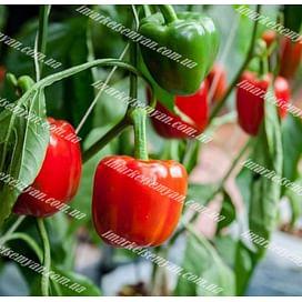 Банкерс F1 cемена перца сладкого тип Блочный 500 семян Enza Zaden/Энза Заден