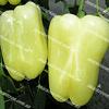 Мадонна F1 семена перца сладкого тип Блочный раннего Clause/Клоз