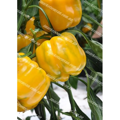 Гуалда F1 семена перца сладкого тип Блочный раннего 250 семян Hazera