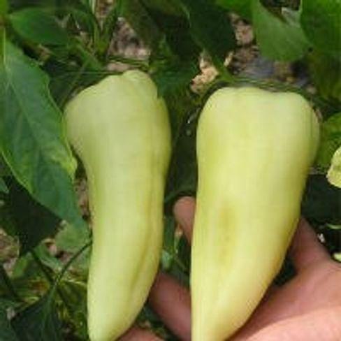 Аккорд F1 семена перца сладкого тип Венгерский раннего 1000 семян Hazera