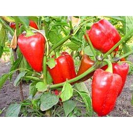 Богатырь семена перца сладкого тип Венгерский среднего Semenaoptom/Семенаоптом
