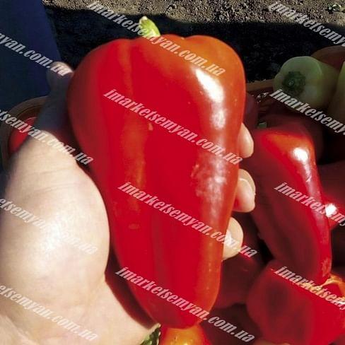 Лостун F1 семена перца сладкого раннеспелого LibraSeeds
