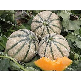 Эминенза F1 семена дыни тип Итальянская сетчатая ранней 500 семян Enza Zaden/Энза Заден