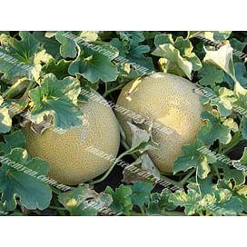 Трейси F1 семена дыни тип Галия ранней 500 семян Enza Zaden/Энза Заден