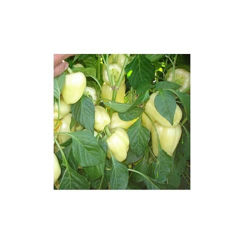 Бланчина F1 семена перца сладкого 500 семян Enza Zaden/Энза Заден
