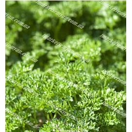 Фрисе (Робуст) семена петрушки кучерявой ранней Clause/Клоз