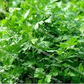 Итальянский гигант семена петрушки листовой Semenaoptom/Семенаоптом