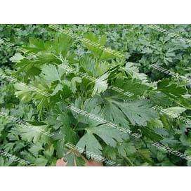 Новас семена петрушки листовой Clause/Клоз