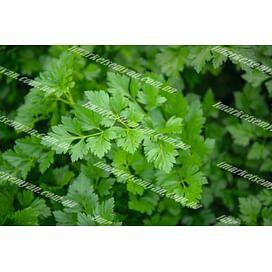 Риалто семена петрушки листовой 10 грамм Bejo/Бейо