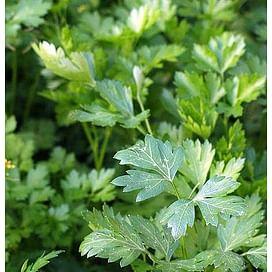 Фелиция семена петрушки листовой 10 грамм Rijk Zwaan/Рийк Цваан