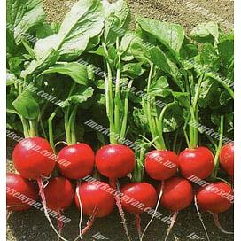 Диего F1 (3,4-3,6 мм) семена редиса 25 000 семян Hazera