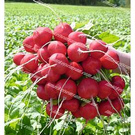 Розетта F1 (2,25-2,50мм) семена редиса Bejo/Бейо