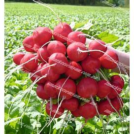 Розетта F1 (2,5-2,75мм) семена редиса Bejo/Бейо