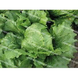Робинсон семена салата тип Айсберг зеленого Hazera