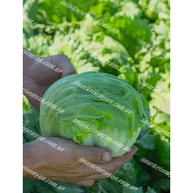 Бизнес семена салата кочанного 5 000 семян Bejo/Бейо