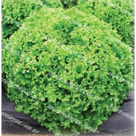 Драгон семена салата тип Батавия зеленого 1 000 дражже Vilmorin/Вилморин