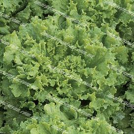 Ноблес семена салата тип Батавия зеленого 100 грамм Vilmorin/Вилморин