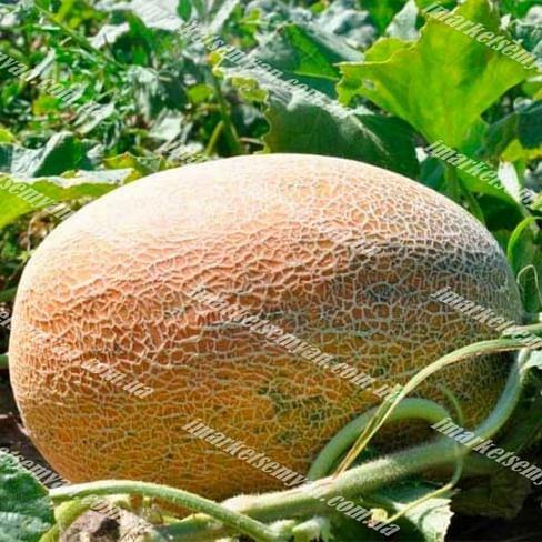 Мейрон F1 семена дыни тип Ананас ранней 1 000 семян Hazera