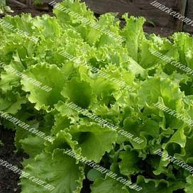 Одесский кучерявец семена салата листового зеленого Semenaoptom/Семенаоптом
