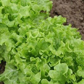 Фанли семена салата тип Батавия раннего 5 000 семян Syngenta/Сингента