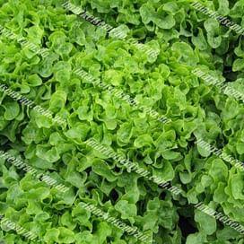 Ронали семена салата тип Дуболистный зеленого 1 000 семян Hazera