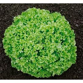 Оникс семена салата тип Лолло Бионда дражированные 5 000 семян Nunhems