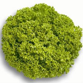 Левистро семена салата Лолло Бионда Rijk Zwaan/Рийк Цваан