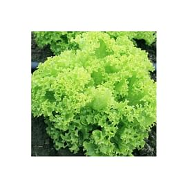 Эстроза семена салата тип Лолло Бионда 5 грамм Enza Zaden/Энза Заден