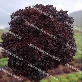 Бахус семена салата тип Лолло Росса Vilmorin/Вилморин