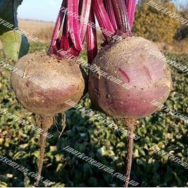Детройт семена свеклы столовой ранней Semenaoptom/Семенаоптом