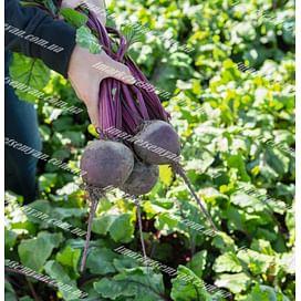 Бохан F1 семена свеклы столовой среднеспелой Bejo/Бейо