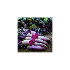 Ломако (PR 3,5-4,25 мм) семена свеклы столовой Rijk Zwaan/Рийк Цваан
