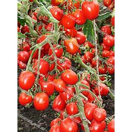 Кинг F1 семена томата детерминантного среднего Lucky Seed