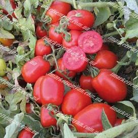 ЮГ 161 F1 семена томата детерминант. сливка United Genetics