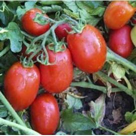 ЮГ 8168 F1 семена томата детерм. раннего 10 000 семян United Genetics