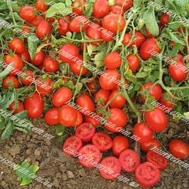 Уно Россо F1 семена томата детермин. среднего United Genetics