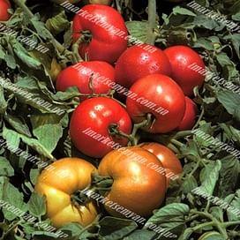 Трибека F1 семена томата детермин. среднего 1 000 семян Vilmorin/Вилморин