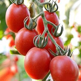 Ариозо F1 семена томата детермин. среднераннего Lucky Seed