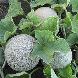 КС 7049 F1 семена дыни тип Cantaloupe Kitano/Китано