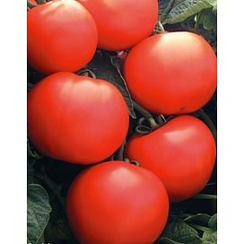 Дебют F1 (Debut F1) семена томата детерминантного Seminis/Семинис