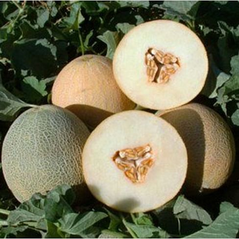 Амалик F1 (Армония F1) семена дыни тип Ананас ранней United Genetics