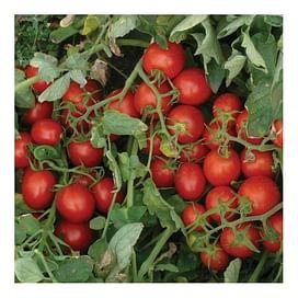 2206 F1 семена томата детерминантного Lark Seeds/Ларк Сидс