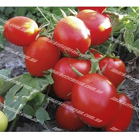 Грандо F1 семена томата дет. 5 000 семян Lark Seeds/Ларк Сидс