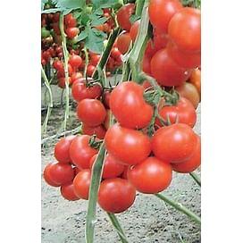 Лилос F1 семена томата индетерминантного ультрараннего Rijk Zwaan/Рийк Цваан